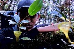 Forester Indonesia temukan Kantong Semar Jamban (Nephentes jamban) di Hutan Angkola