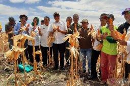 Petani Gorontalo panen jagung perdana program