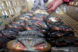 Budidaya kepiting lunak