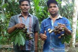 Petani Aceh Tengah mulai budidaya jengkol