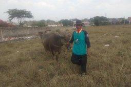Di Lebak, populasi ternak kerbau  turun