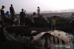 Warga pesisir selatan evakuasi hiu paus terdampar dalam kondisi mati