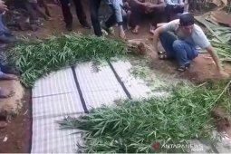 Tanam ganja di belakang rumah, tiga warga kota Bengkulu ditangkap