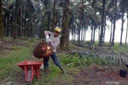 Harga TBS sawit  naik Rp26,27/kg