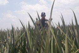 Produksi kebun nanas Lampung ini capai 2.000-3.500 ton per hari