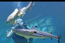 Pertunjukan Live Feeding Shark