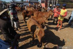 Pemprov Gorontalo akan kirim 5.000 sapi ke Balikpapan