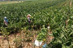 Petani tembakau di Tulungagung keluhkan penurunan harga