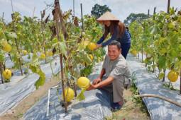 Hendro Sudarto, kembangkan agrowisata kebun melon emas di Batanghari