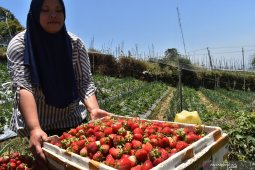 Panen buah strawberry