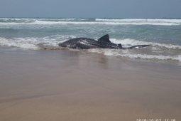 Seekor Hiu sepanjang 7 meter terdampar di Perairan Wanasalam Lebak.