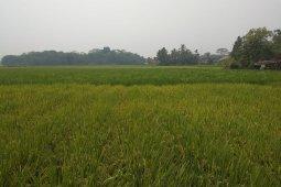 Pada September, produksi padi di Lebak capai 40.118 ton