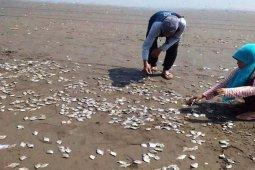 Ribuan ikan di Pantai Jetis mati, kenapa?