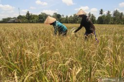 Panen padi di musim kemarau