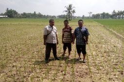 Ribuan hektare sawah di Mukomuko kekeringan