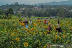 Wisata Swafoto Kebun Bunga Matahari