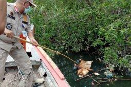 Terkait ribuan bangkai babi di sungai, Gubernur Sumut siapkan Pergub