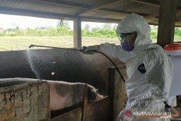 Kolera babi merebak, kandang babi di Karo disemprot disinfektan
