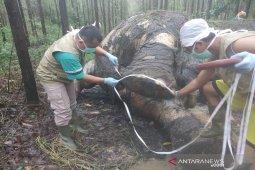 Gajah mati di Riau korban perburuan gading