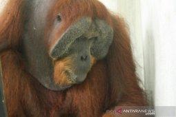 Ditembak 24 peluru, orangutan Sumatera alami kebutaan