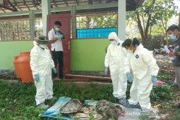 BKSDA Bengkulu-Lampung kirim sampel empat penyu ke laboratorium