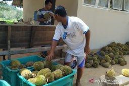 Belitung mengemas musim panen durian jadi paket wisata