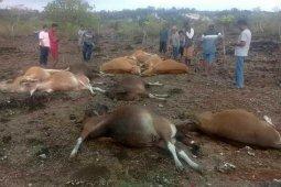 Belasan ekor sapi tewas tersambar petir