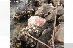 Penyu ke-10 mati ditemukan dekat Lentera Merah Bengkulu