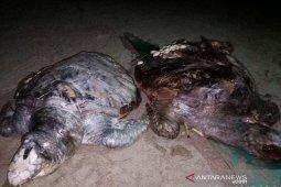 Tempo dua bulan, 12 penyu mati di pantai Bengkulu