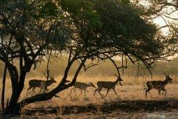 BKSDA: Harimau keluar teritori akibat sumber makanan menipis