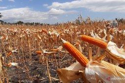 Mappindo: Limapuluh Kota bisa jadi sentra penghasil jagung