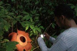 Raflesia ditemukan di 14 kabupaten/kota di Sumbar