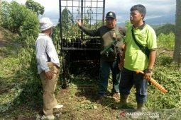 BKSDAsegera tangkap harimau di Muara Enim
