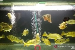 Pemkot Sukabumi fasilitasi pengembangan potensi budidaya ikan hias