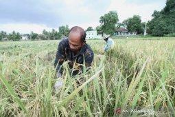 Kejar ekspor, Aceh kembangkan tanam padi tiga kali setahun