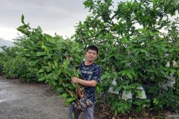 Manfaatkan medsos bibit jambu madu Green Honey tembus pasar nusantara