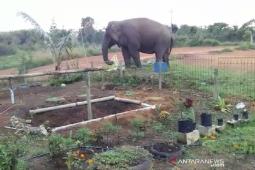 Gajah liar masuk pekarangan sekolah di Bener Meriah
