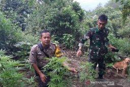 Puluhan pohon ganja tumbuh di Gunung Guntur,  polisi mengamankannya