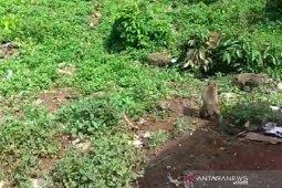 Kawanan monyet serbu  rumah dan lahan pertanian warga di Kuningan