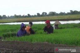Jatah pupuk bersubsidi di Ngawi berkurang hingga 50 persen