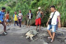 Nelayan Flores Timur Nusa Tenggara Timur selamatkan dua ekor penyu hijau