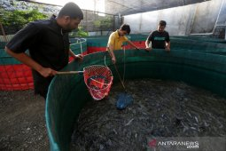 Panen ikan lele bioflok