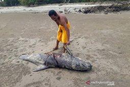 Tiga ekor paus terdampar di Aceh Timur