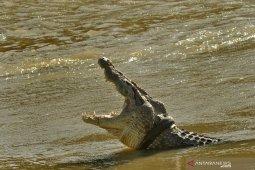 Dibantu ahli reptil Australia, buaya berkalung ban terus diburu