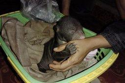 KPH Tabalong evacuates a rare baby sun bear