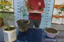 Tanam ganja di rumah, pria Aceh Utara ditangkap