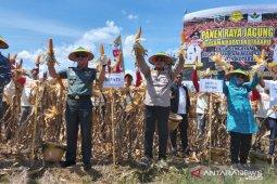 Kotabaru planting corn without tillage, produces 12 tons harvest