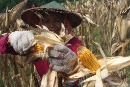 Proyeksi produksi jagung sepanjang 2020