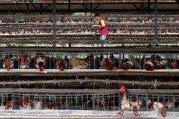 Surplus Telur Ayam Ras