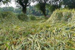 Tanaman padi siap panen ambruk diterjang angin